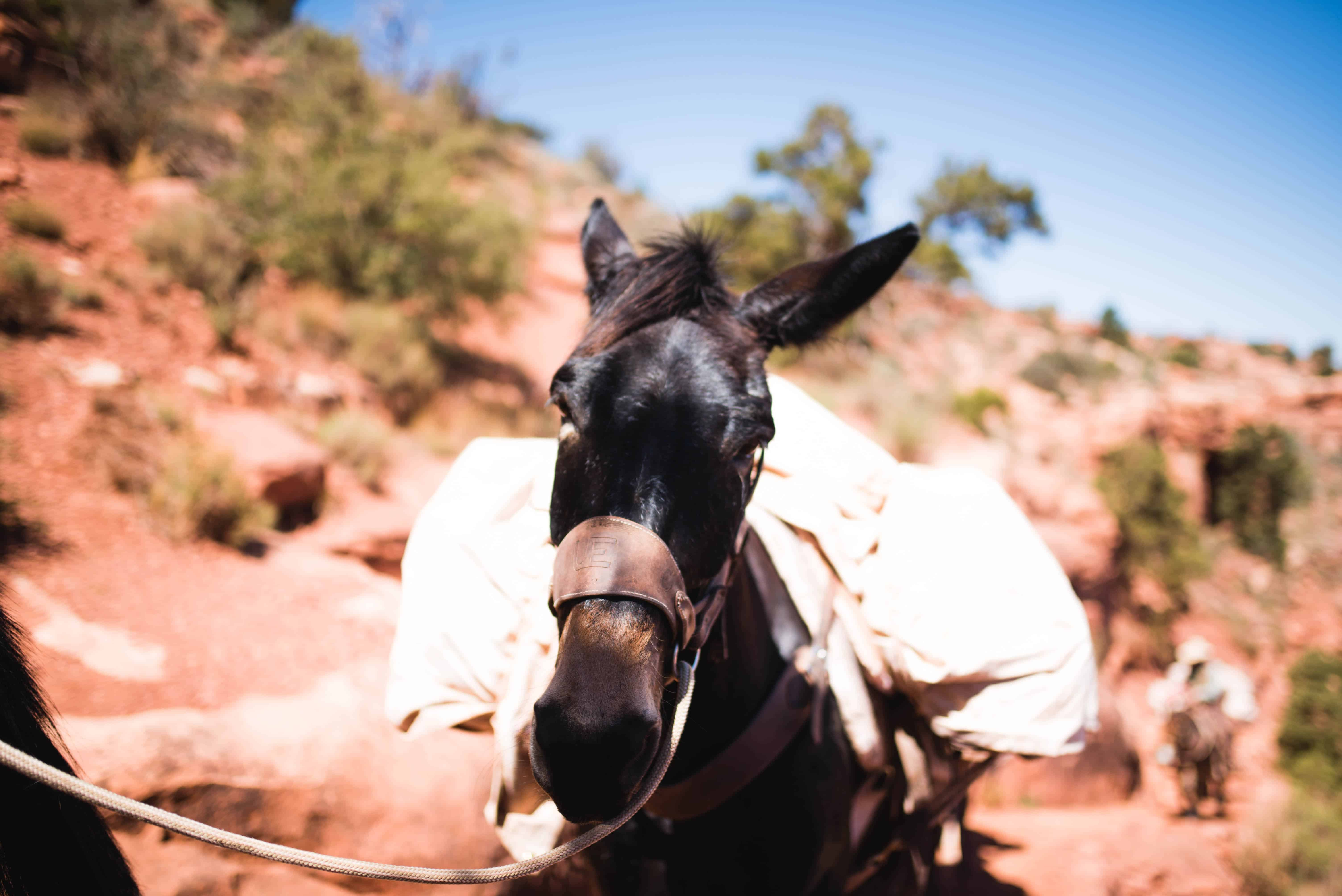 Pack Mules for people hiking all the way down to the bottom of the Grand Canyon