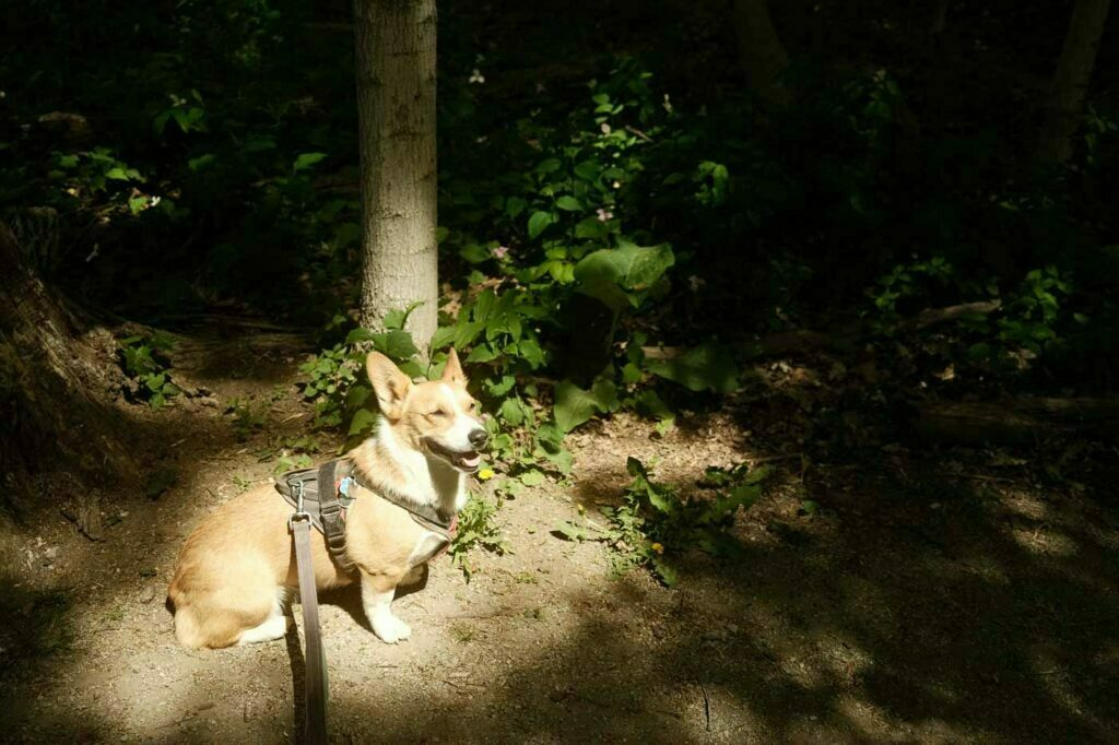 Limone posing in the sunlight at the dog-friendly Trillium Trail in Bronte Creek Provincial Park