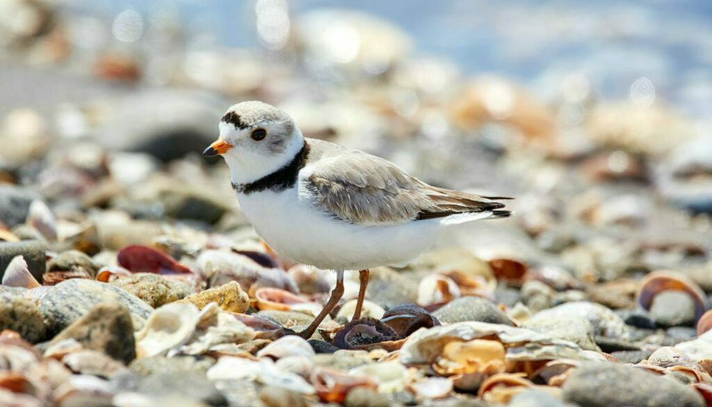 Piping Plover, a rare shorebird that nests on the shores of Lake Ontario during the spring at Darlington Park, an Ontario Provincial Park. Image taken by Mathew Schwartz in Connecticut from Unsplash
